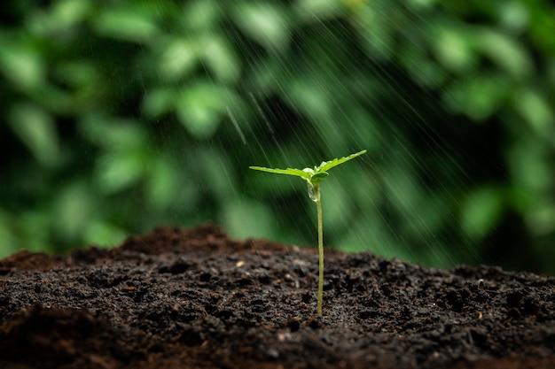 Une petite plante de plants de cannabis au stade de végétation plantée dans le sol au soleil, un beau fond, des cultures de culture dans une marijuana d'intérieur à des fins médicales