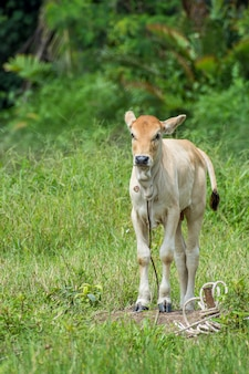 Petite posture de veau à la ferme verte
