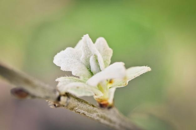 Petite rosette de feuilles vert clair en plumes blanches sur un gros plan de branche