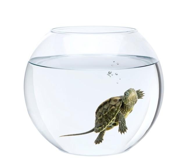 Petite tortue nageant dans un bocal à poissons isolé