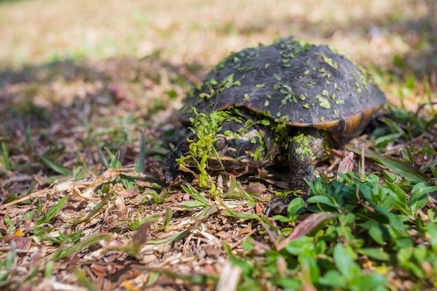 Une petite tortue noire remontait du marais. avec de l'eau dans la fougère attachée au corps