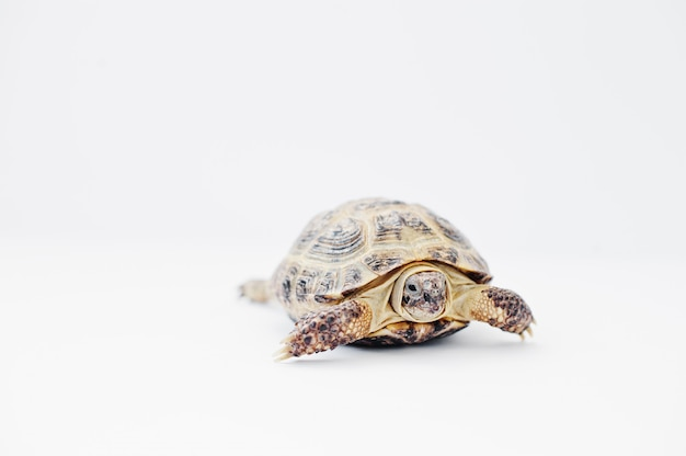 Petite tortue terrestre asiatique isolée sur blanc.