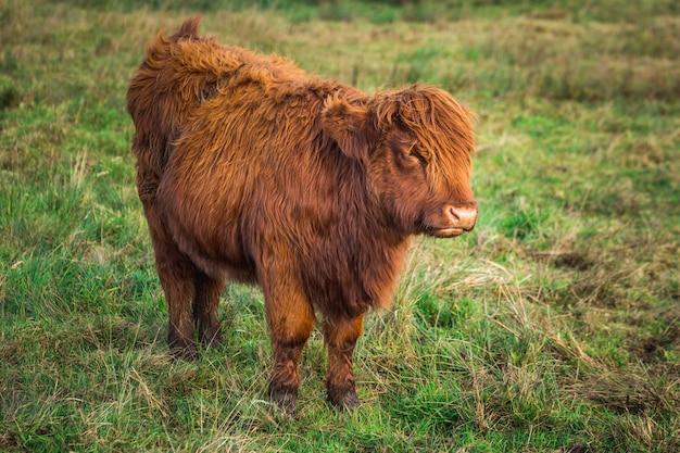 Petite vache écossaise des highlands