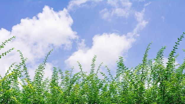 Petites branches d'arbres verts dans la forêt au matin et un ciel bleu.