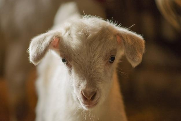 Petites chèvres debout dans un abri en bois, chèvres blanches curieuses