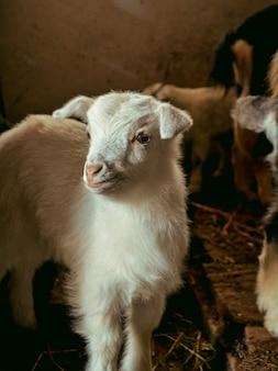 Petites chèvres debout dans un abri en bois