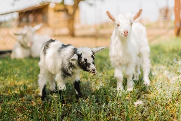 Petites chèvres noires et blanches mangent de l'herbe sur une ferme de campagne