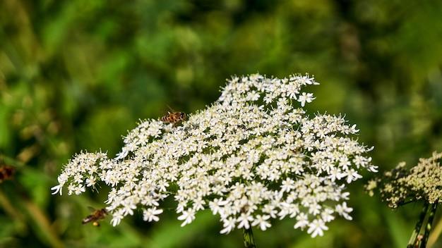 Petites fleurs blanches et abeille à sotchi, russie