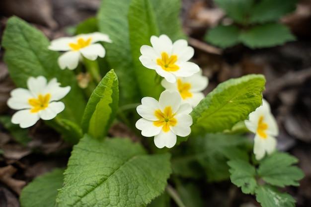 Petites fleurs blanches close up primevère parmi les feuilles vertes des plantes forestières