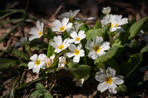 Petites fleurs blanches dans le gros plan de la forêt