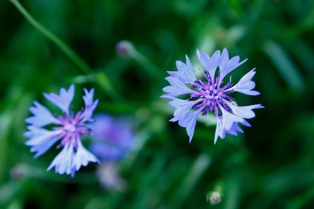 Petites fleurs bleues bouchent sur vert