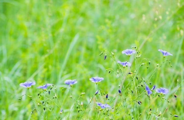 Petites fleurs bleues sur fond flou d'herbe verte, filtre,
