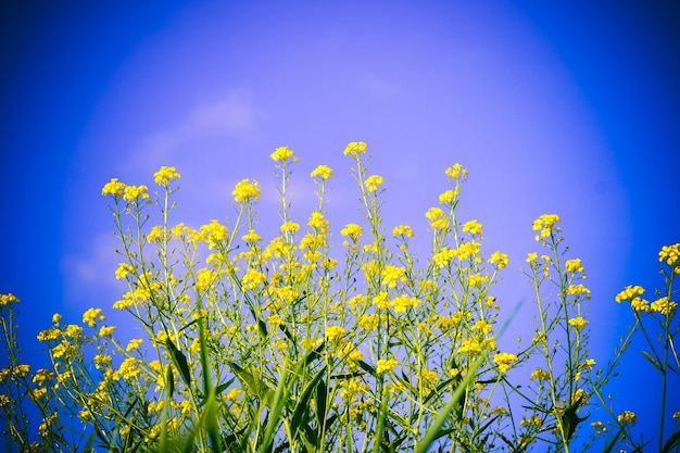 Petites fleurs jaune vif sur une tige verte élancée sur fond de ciel bleu nettoyant