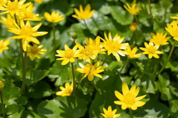 Petites fleurs jaunes de chélidoine au printemps sur un fond naturel vert