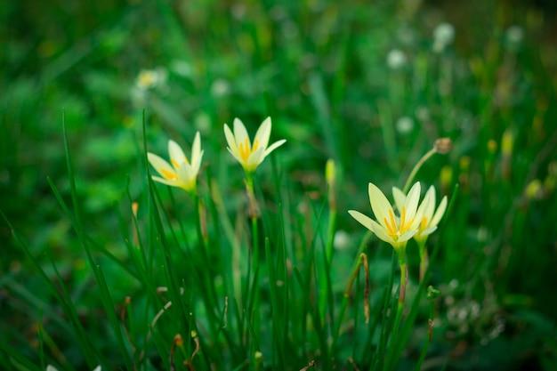Petites fleurs jaunes dans le jardin vert