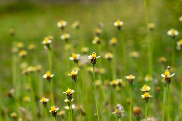 Petites fleurs jaunes dans le pré, focus sélectionné