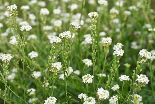 Petites marguerites blanches sur une plante verte dans un pré