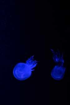 Petites méduses illuminées de lumière bleue nageant dans l'aquarium. abstrait. espace libre pour le texte
