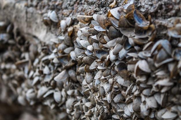 De petites moules de rivière sont coincées à la surface du rivage. un grand nombre de coquillages vides