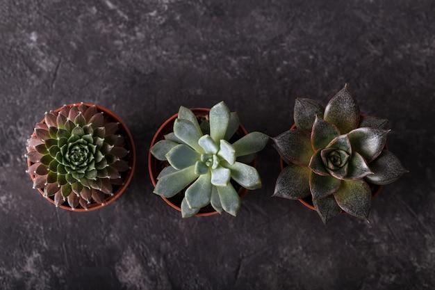 Petites succulentes en pots