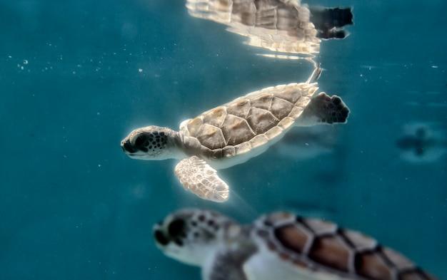 Petites tortues dans l'eau
