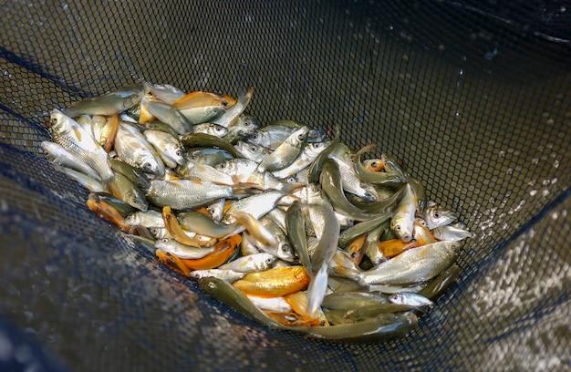 Petits alevins de poissons dans un filet de pêche sur une ferme piscicole.