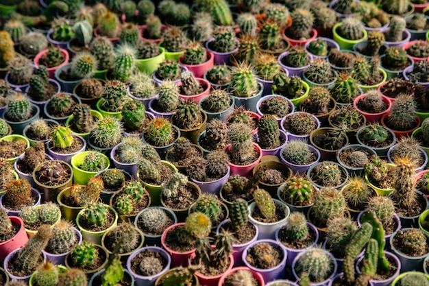 Petits cactus dans de petits pots dans une serre
