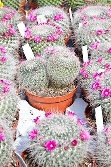 Petits cactus sur un marché pendant une journée ensoleillée