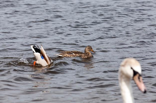 Petits canards sauvages au printemps ou en été dans la nature, beaux canards sauvages dans la nature dans le lac, nature sauvage avec des canards de sauvagine