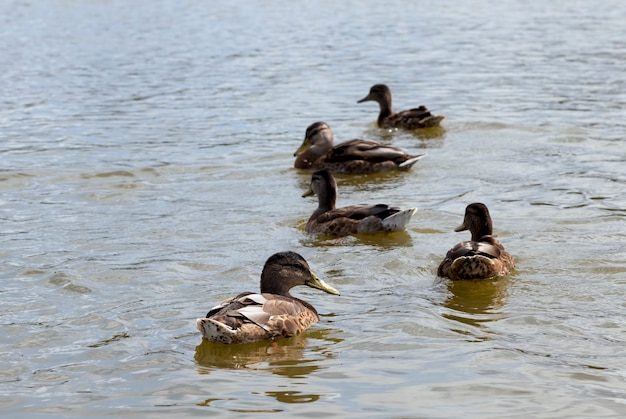 Petits canards sauvages