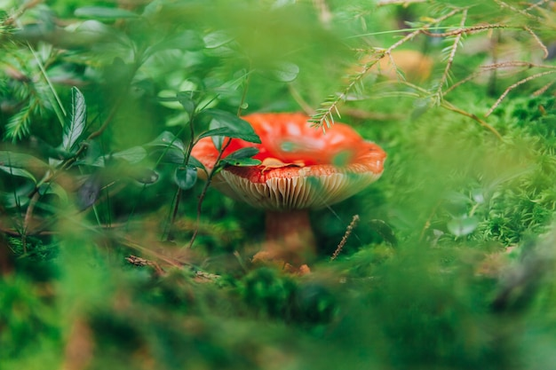 Petits champignons comestibles russula avec capuchon roux rouge en fond de forêt d'automne de mousse.