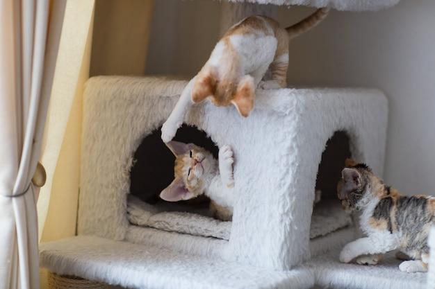 Les petits chatons devonrex jouent sur un gros chat qui joue au jouet