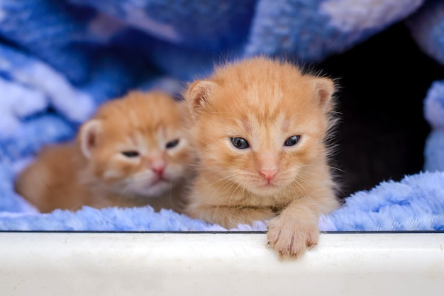 Petits chatons rouges drôles