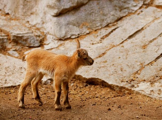 Petits chèvres