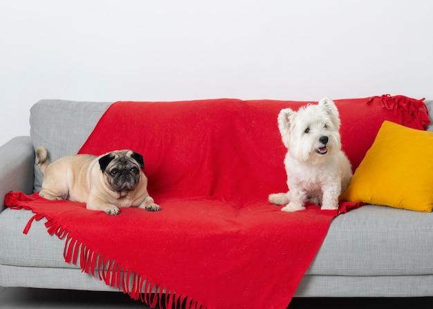 Petits chiens mignons sur un canapé