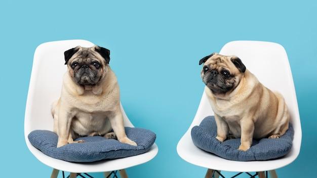 Petits chiens mignons sur des chaises blanches