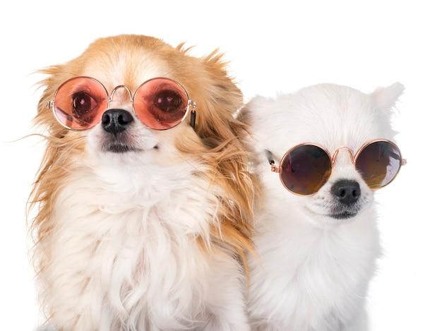 Petits chiens en studio