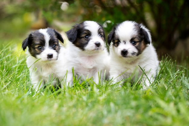 Petits chiots sur l'herbe