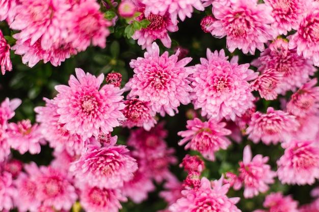De petits chrysanthèmes roses ou marguerites poussent dans un parterre de fleurs comme un buisson duveteux. automne beau fond. texture naturelle.