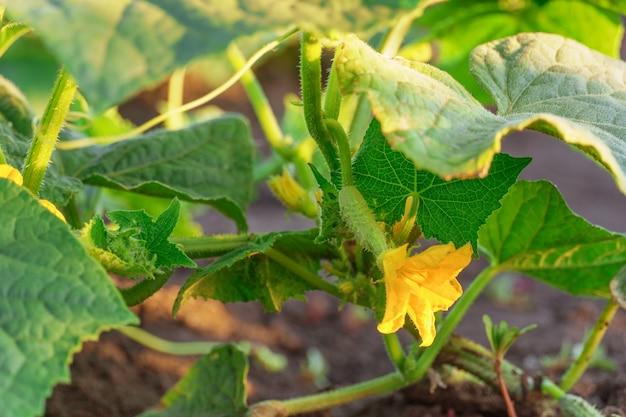 Petits concombres verts et branches fleuries dans le jardin. faire pousser des légumes dans le jardin