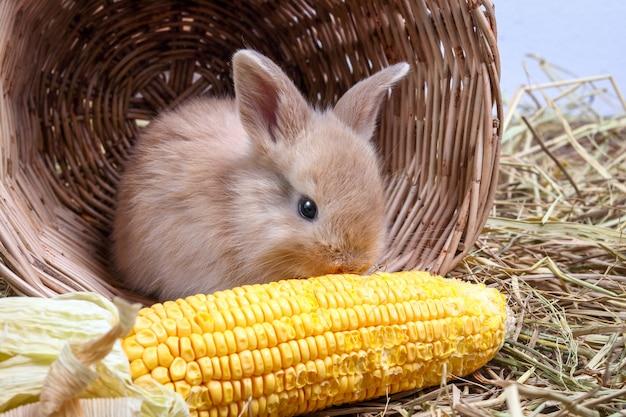 Les petits lapins se sont cachés dans un panier en bois, mangeant le maïs comme un gusto.