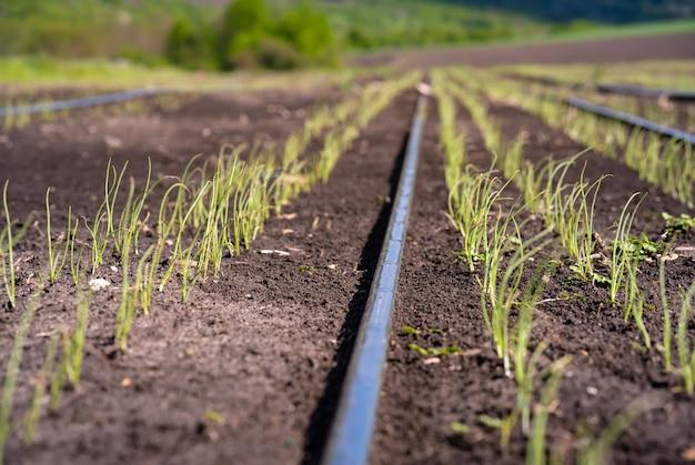 Petits oignons verts semés dans le champ au début du printemps.