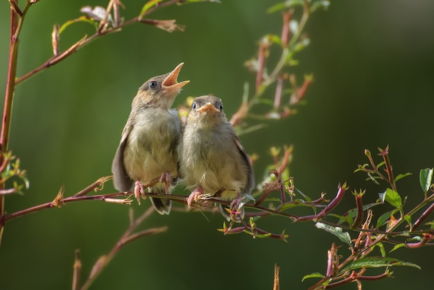 Petits oiseaux chanteurs sur une branche d'arbre