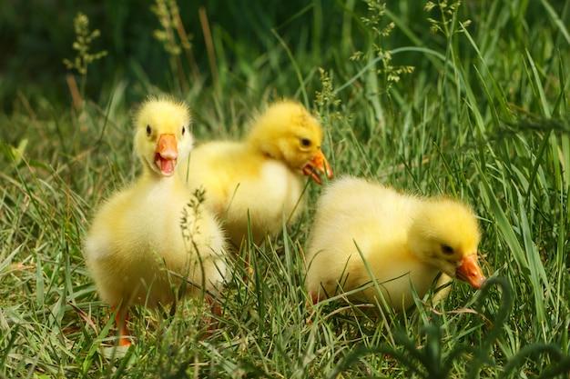 Petits oisons jaunes moelleux sur l'herbe verte.