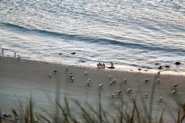 Petits pingouins bleus (eudyptula minor) venant à terre