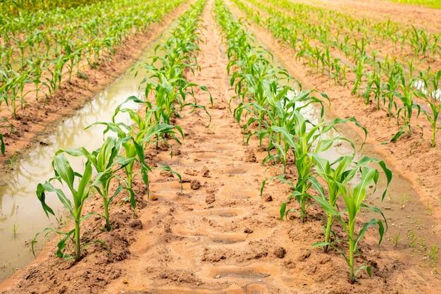 De petits plants de maïs sur le terrain poussent le matin.