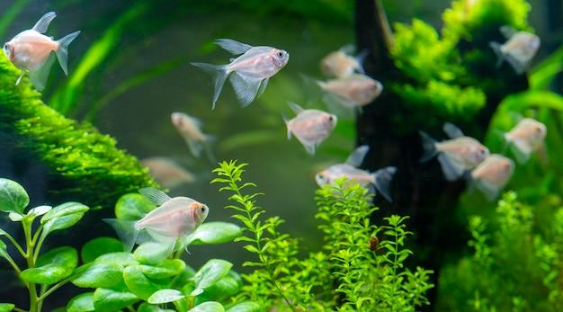 Petits poissons d'aquarium dans l'aquarium