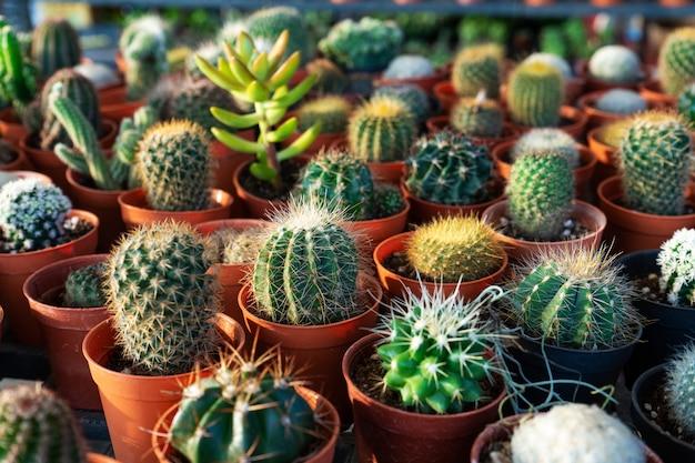 Petits pots décoratifs avec des fleurs de cactus. vue d'en-haut. décor de fleurs fraîches. accueil fleurs