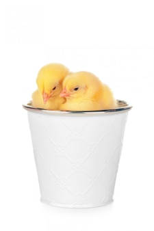 Petits poulets nouveau-nés isolés sur blanc