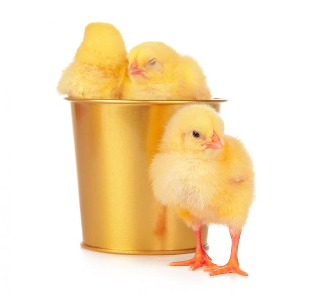 Petits poulets nouveau-nés isolés